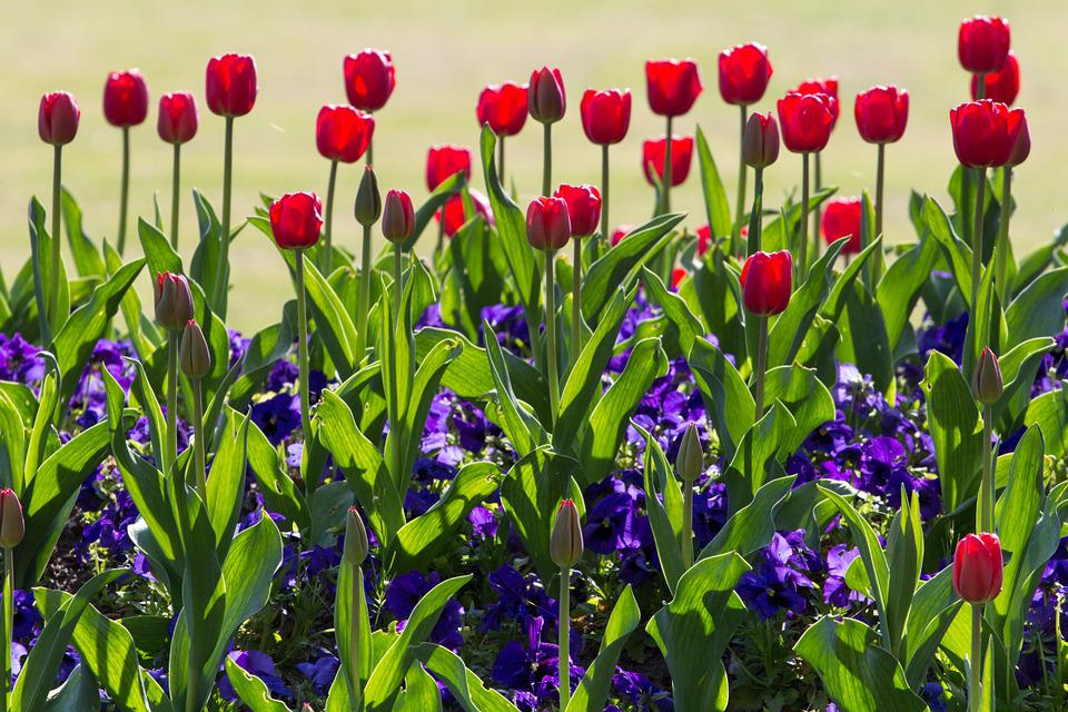 Tulips, Spring, Light, Colorful, Red, Flowers