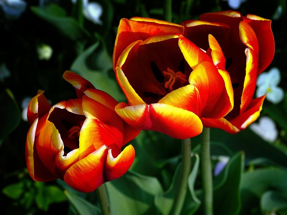 Tulips, Flowers, Nature, Garden, Frühlingsanfang