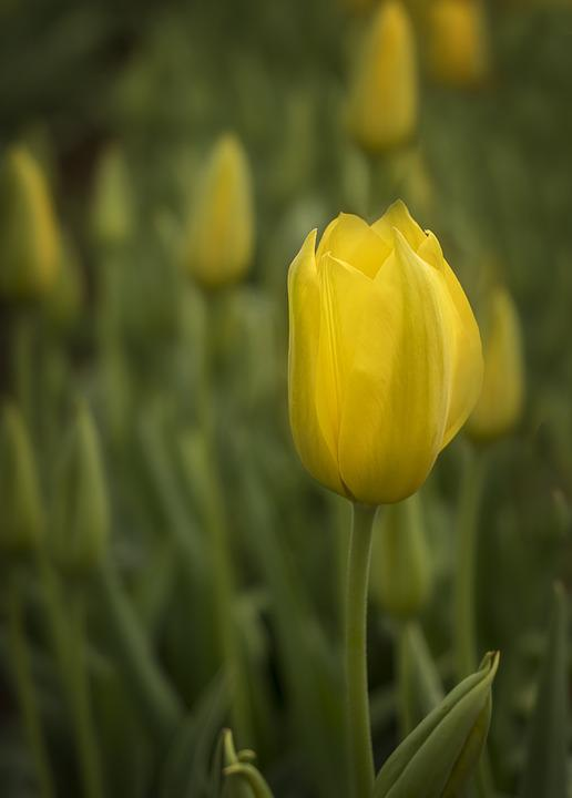 Tulips, Flowers, Spring, Bloom, Nature, Garden
