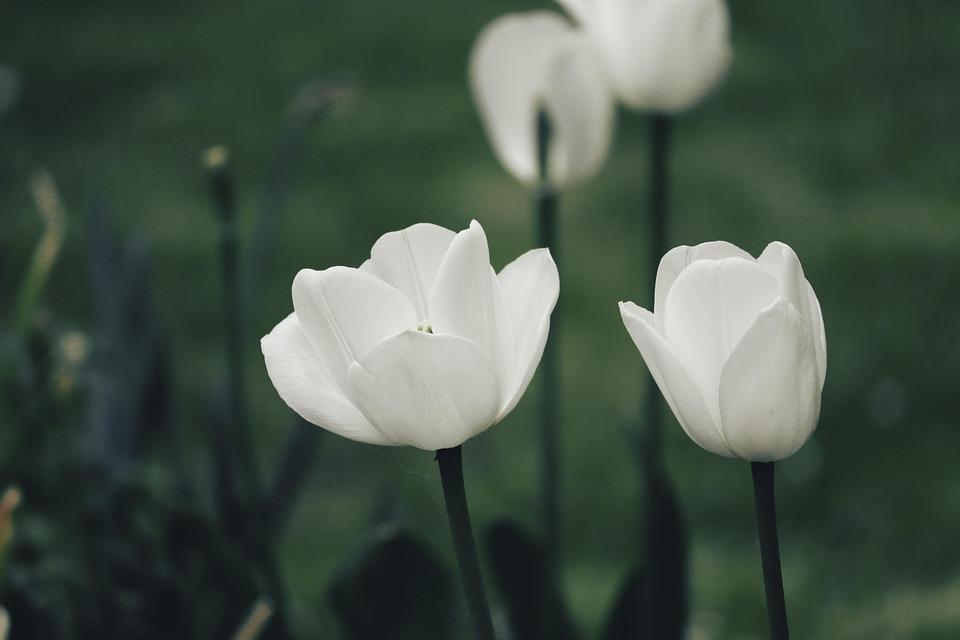 Tulips, White, Spring, Flowers, Nature, Plant, Garden