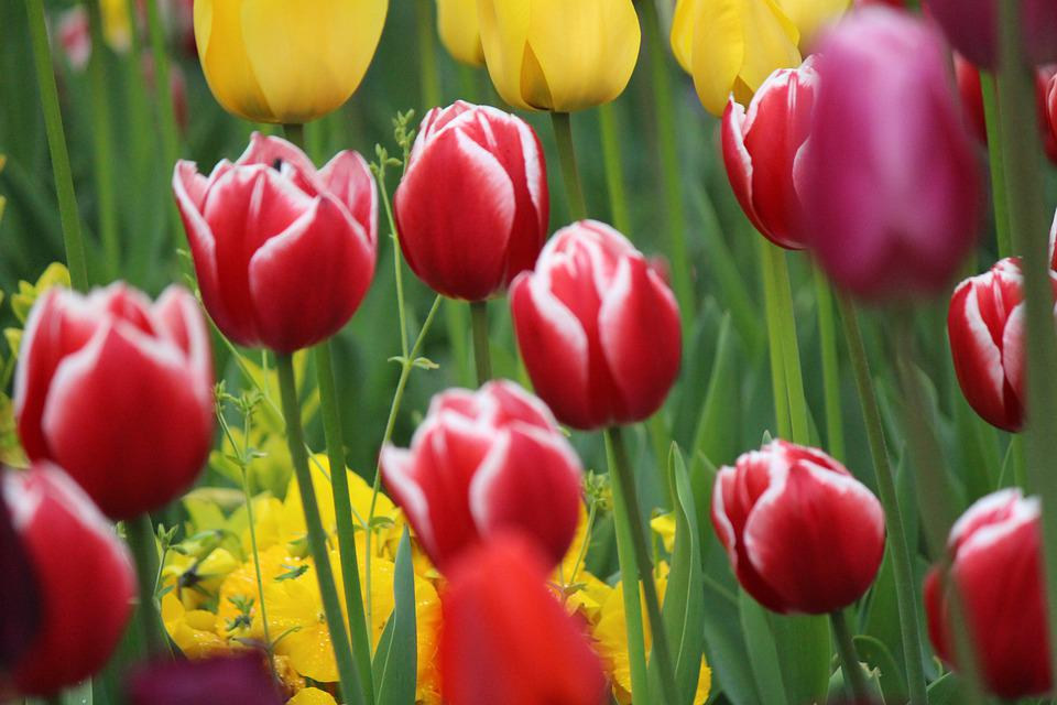 Tulip, Flowers, Nature, Color, Tulips