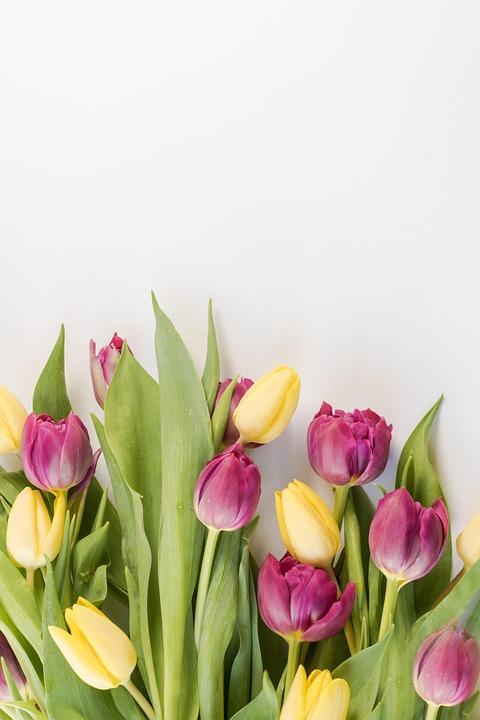Tulips, Background, Flowers, Netherlands, Tulip, Spring