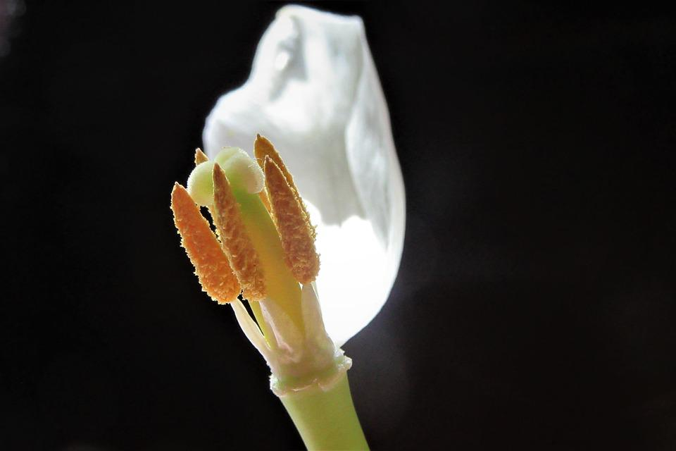Tulip, Overblown, Petals, Verleppen, Garden, Tulips