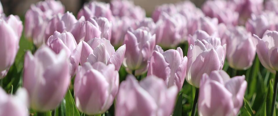 Tulips, Spring, Pink