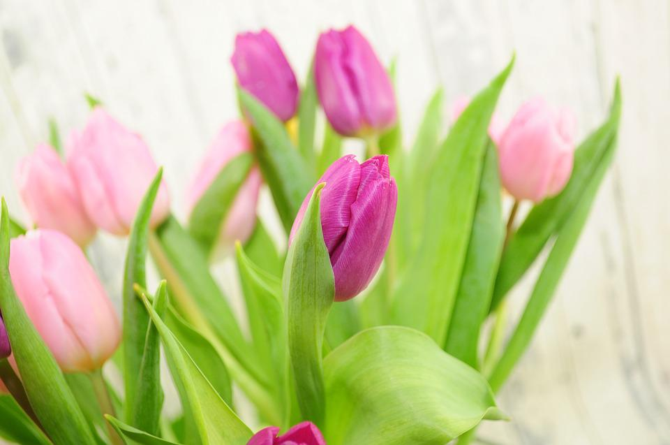Tulips, Purple, Flowers, Spring, Spring Flower, Pink