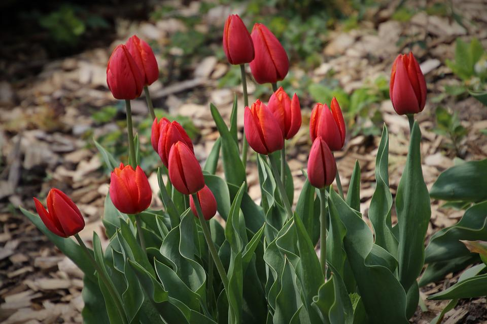 Spring, Garden, Tulips, Plant, Flowers, Flora