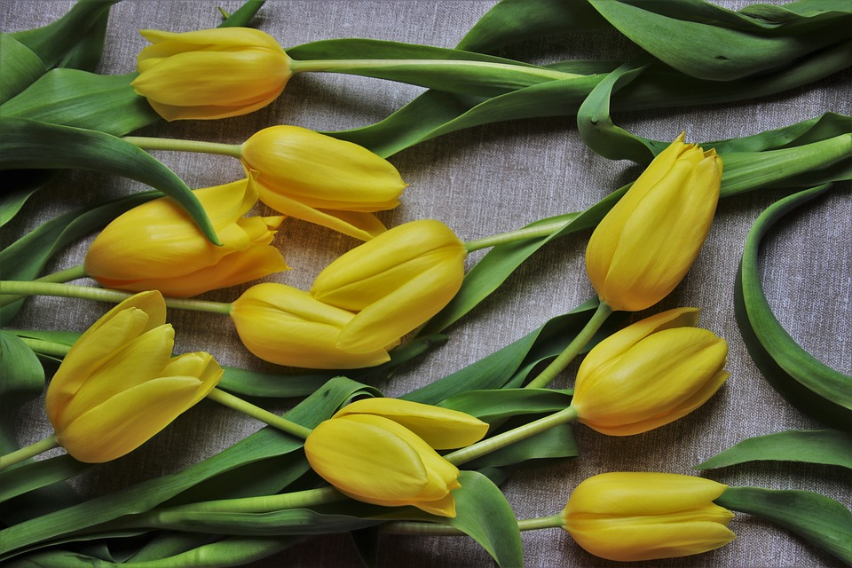 Tulips, Yellow, The Background, Foliage, Plant