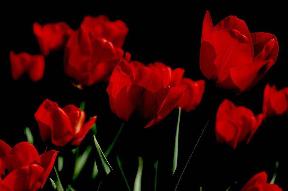 Tulips, Flowers, Red, Red Tulips, Red Flowers