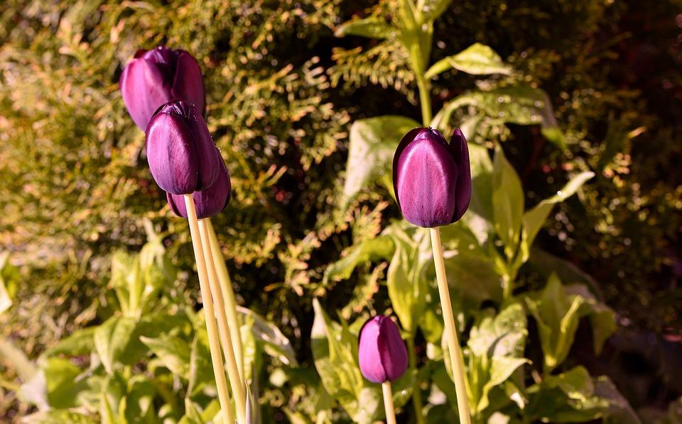 Garden, Flowers, Tulips, Violet, Spring Flowers