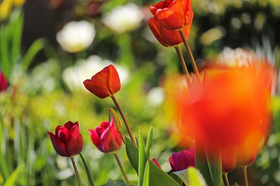 Tulip Bed, Spring, April, Tulips, Tulip Field
