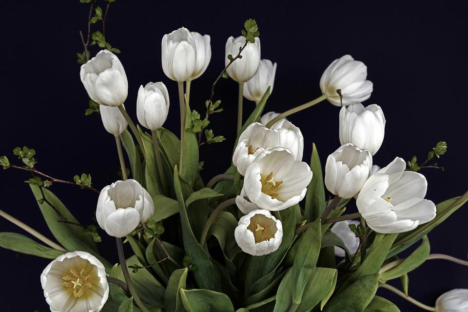 Tulips, Tulip Flower, Flowers, White, Green, Flower