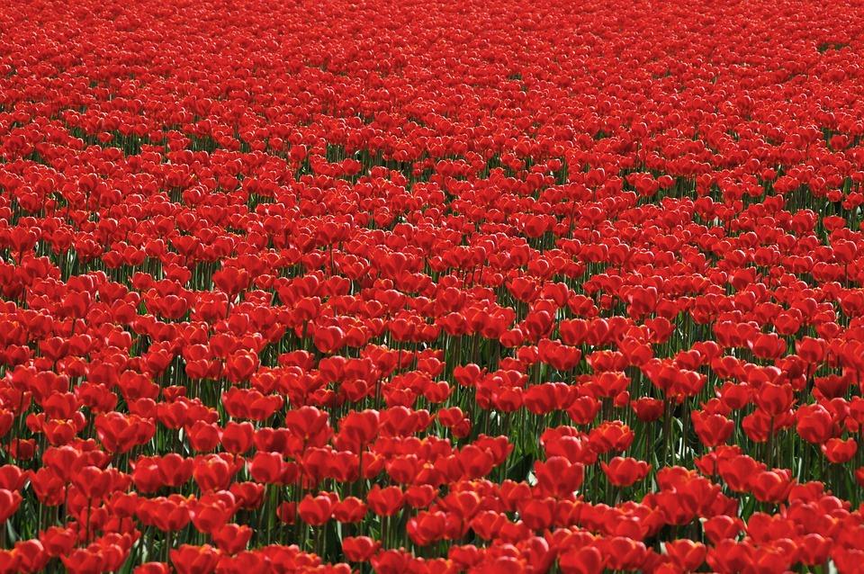 Tulips, Tulip Field, Tulpenroute, Bollengewas, Red