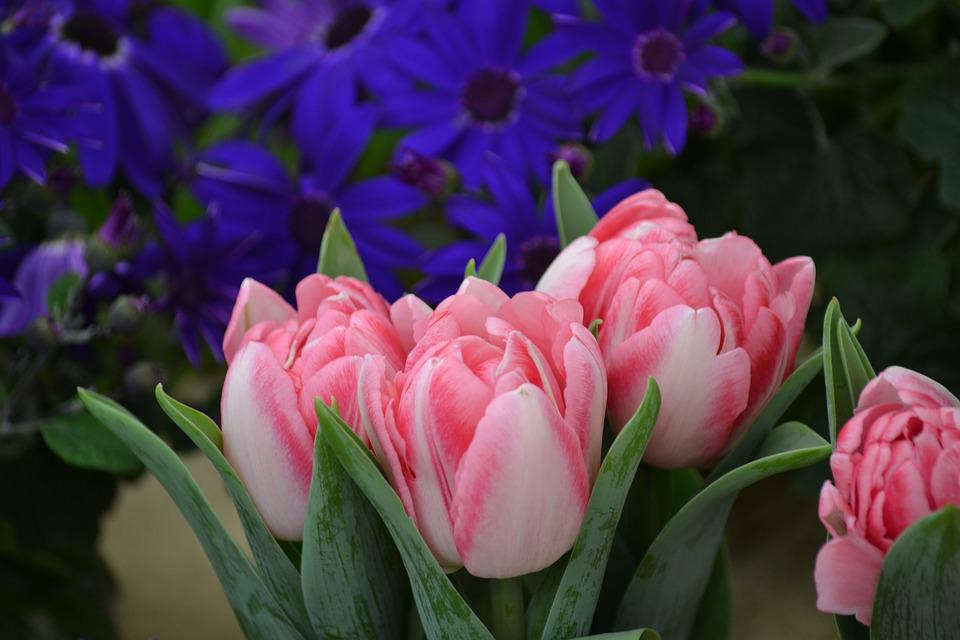 Tulips, Flowers, Nature, Spring, Pink, Violet