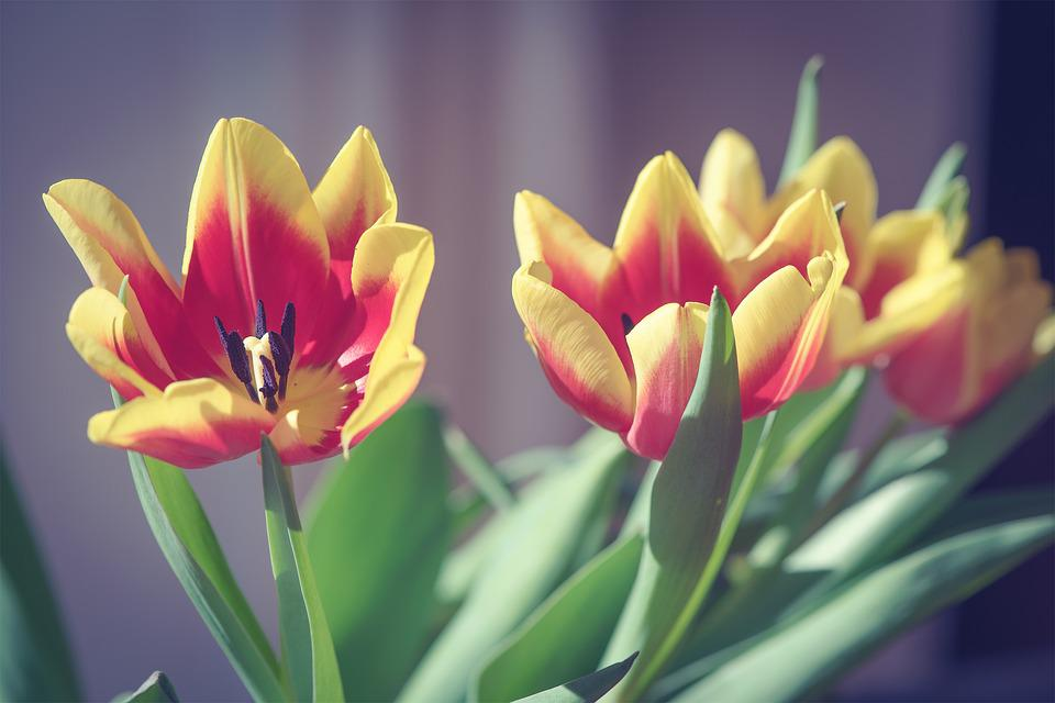 Tulips, Flowers, Red, Yellow, Orange, Cut Flowers