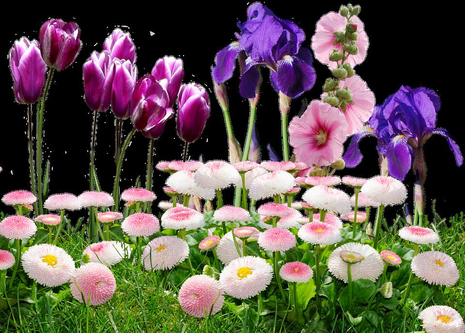 Iris, Tulips, Flowers, Nature, Violet, Tulpenbluete