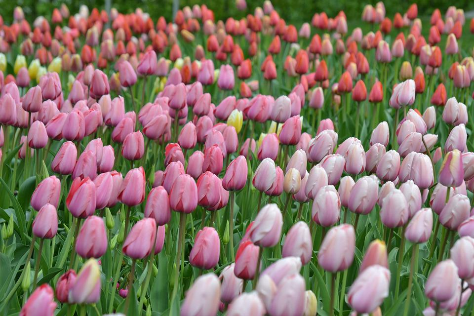 Tulips, Sea Of Flowers, Tulpenbluete, Flowers, Colorful
