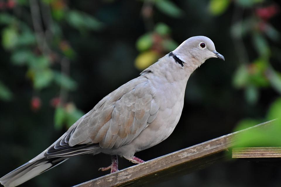 Turkey Pigeon, Bird, Dove, Animal