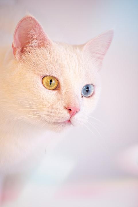 free photo turkish angora cute white cat cafe room animal max pixel