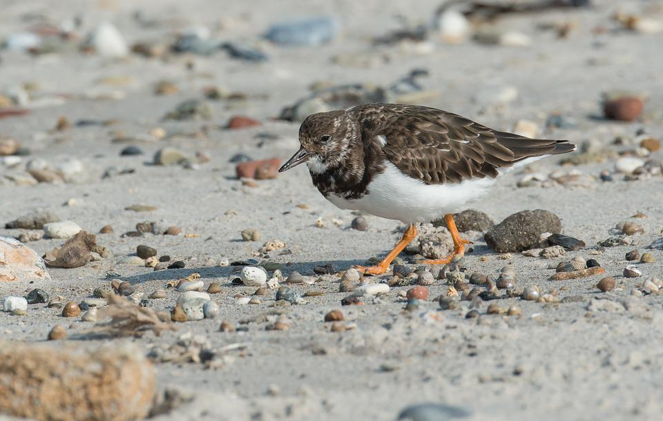 Stone Waltz, Bird, Turnstone, Wadden Sea, North Sea