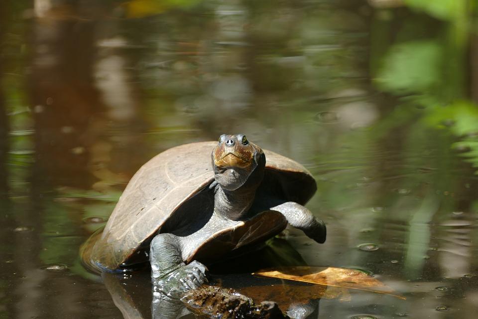 Turtle, Animal, Nature, Water