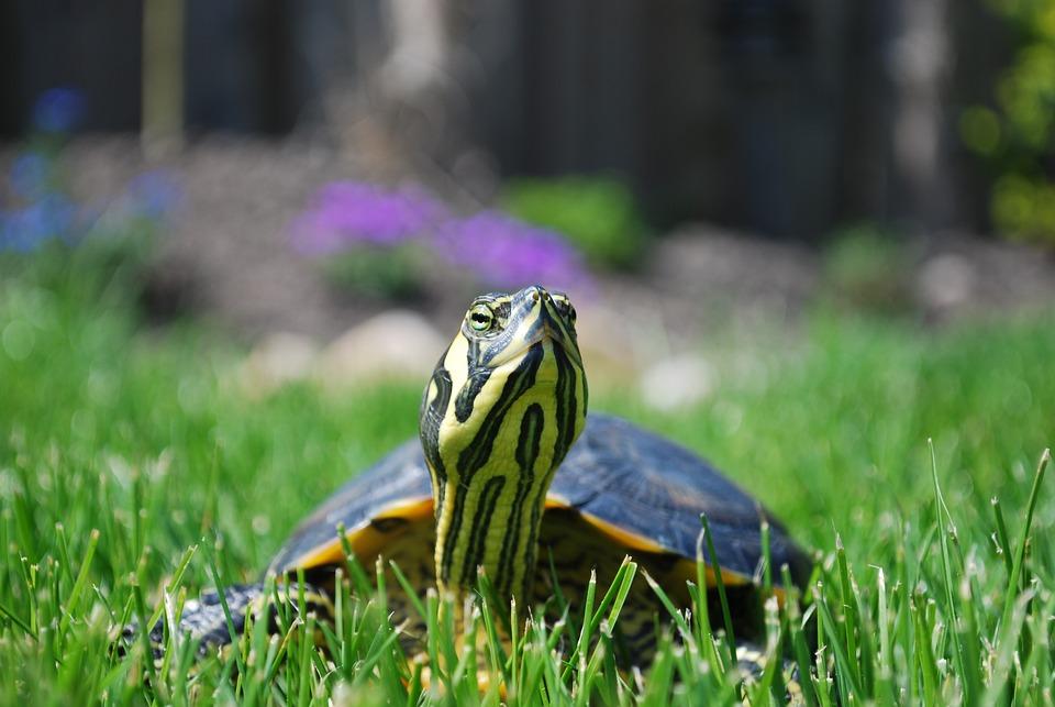 Turtle, Trachemys Scripta, Reptile, Animal, Nature, Pet