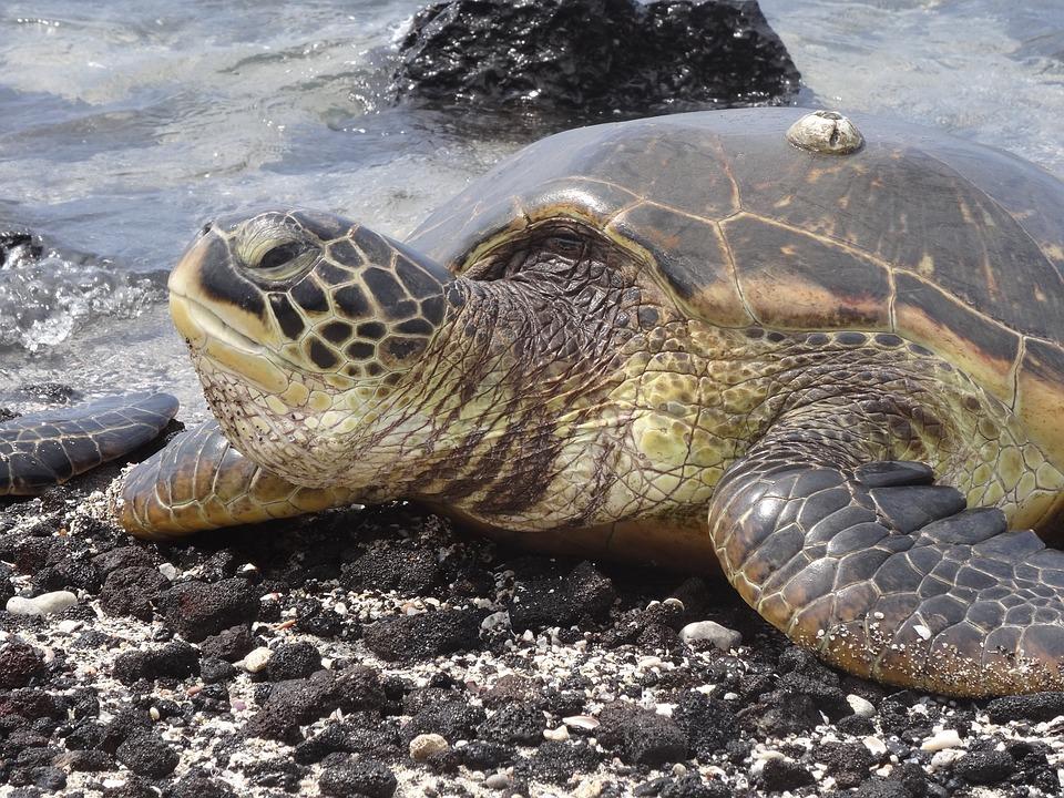 Turtle, Sea Turtle, Animal World, Hawaii, Ocean