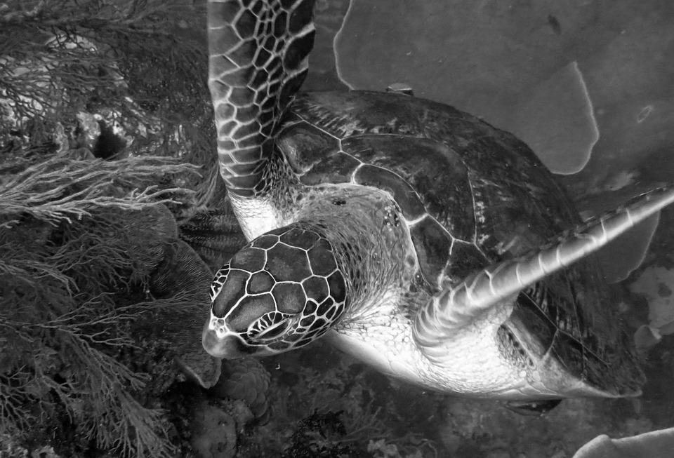 Turtle, Underwater, Creature, Marine, Diving, Scuba
