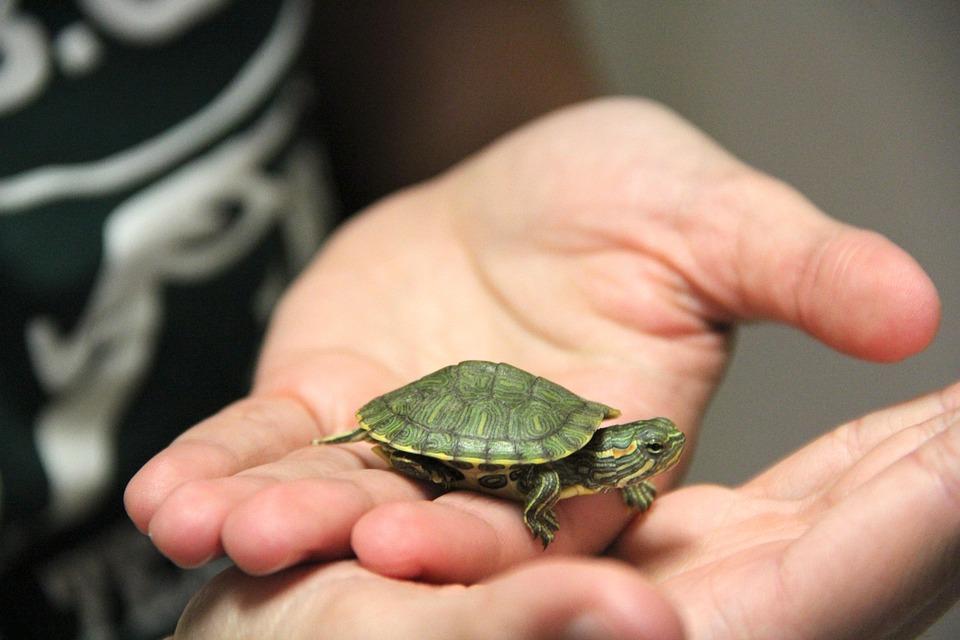 Turtle, Pet, Cute, Shell