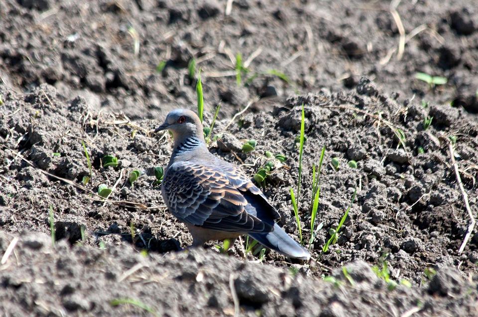 Turtle Dove, Streptopelia Turtur, Turtledove Common