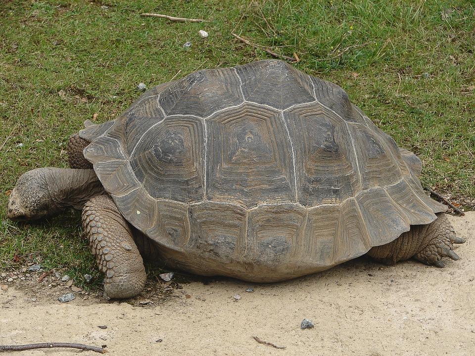 Turtle, Tortoise, Giant Tortoise, Panzer, Armored