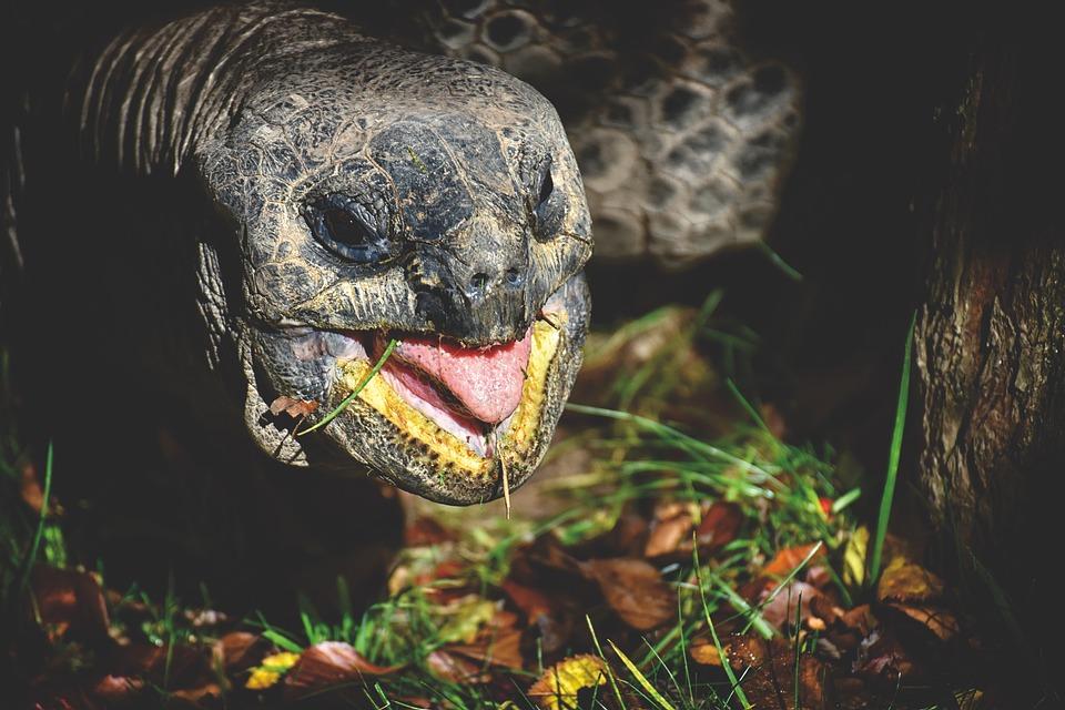 Giant Tortoise, Eat, Animal, Panzer, Zoo, Turtle