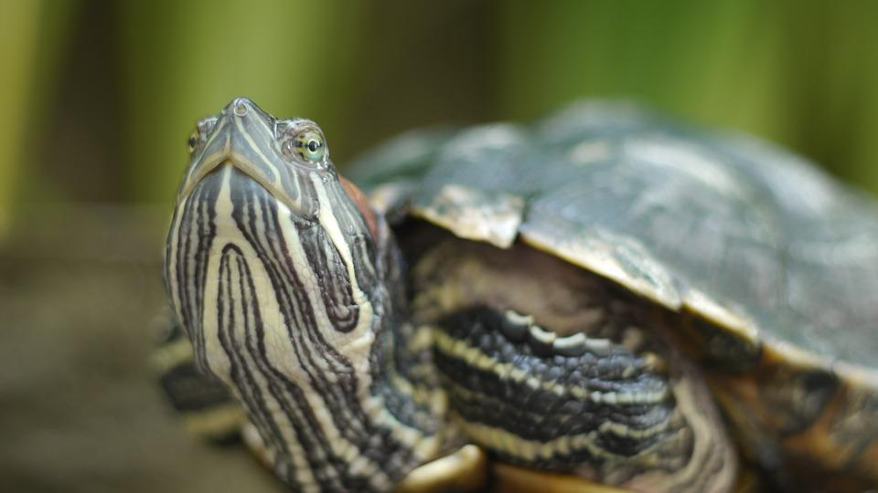 Turtle, Home, Close Up