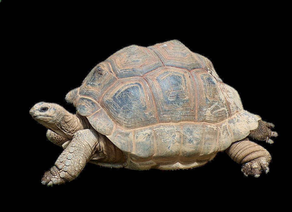 Turtle, Tortoise, Reptile, Giant Tortoise, Panzer, Old