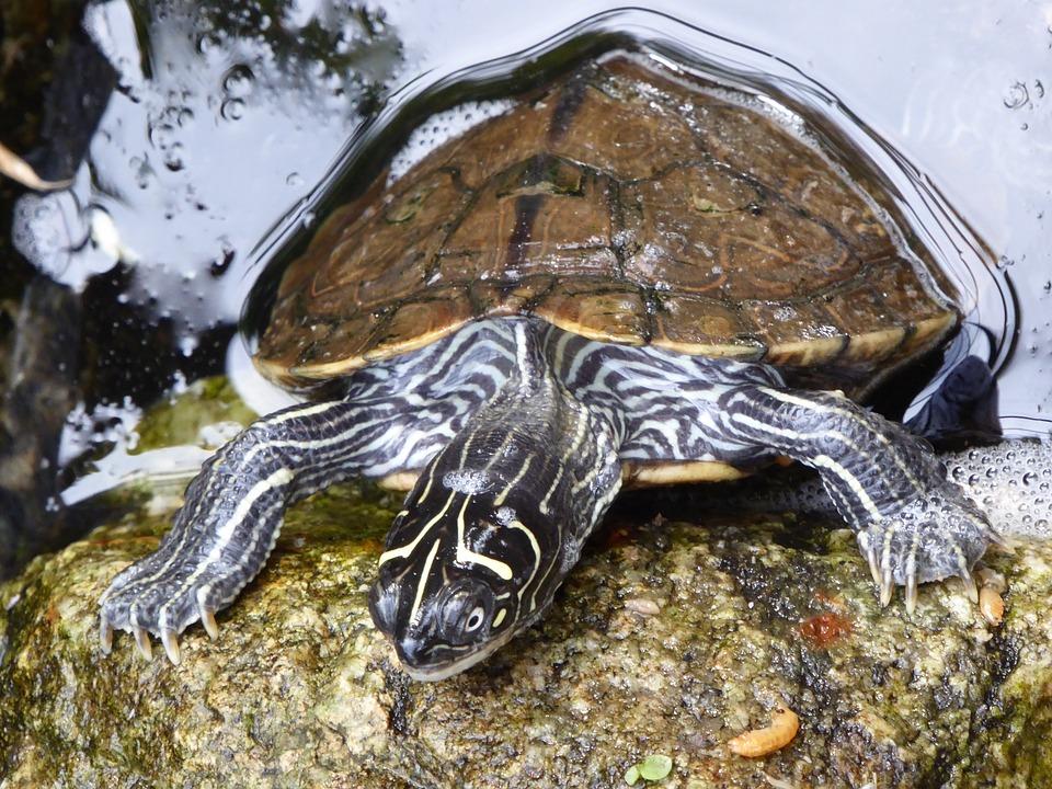 Water Turtle, Water Surface, Panzer, Turtle, Water