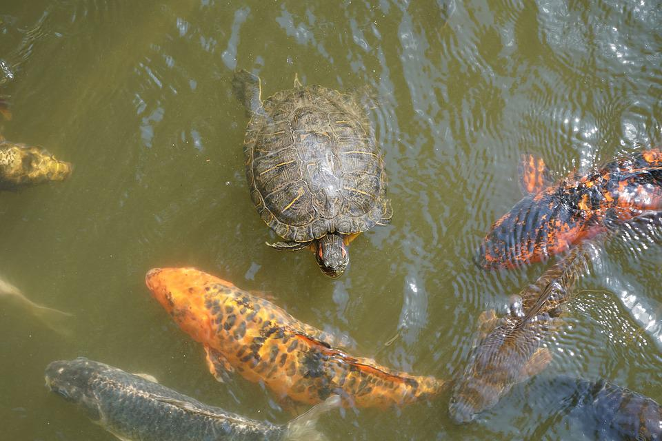 Turtle, Koi, Fish, Carp, Water, Pond, Koi Carp, Swim