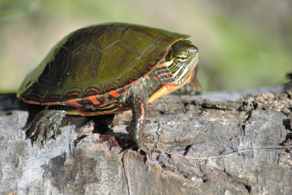 Turtle, Small, On Log, Colorful, Claws, Eyes, Green