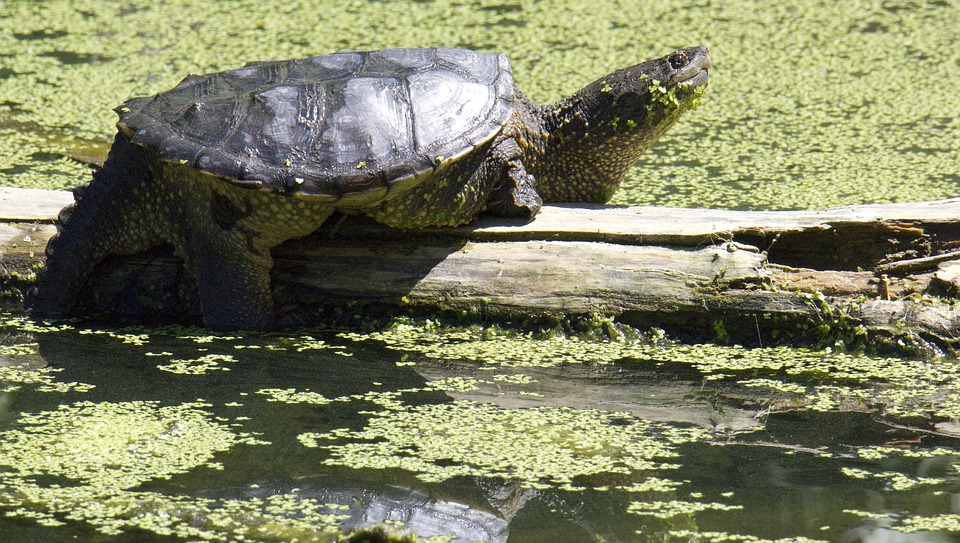 Snapping Turtle, Turtle, Swamp, Resting
