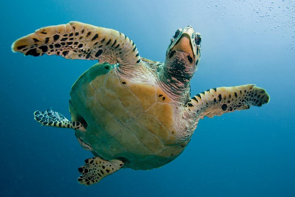 Turtle, Tortoise, Sea, Immersion, Deep, Maldivi