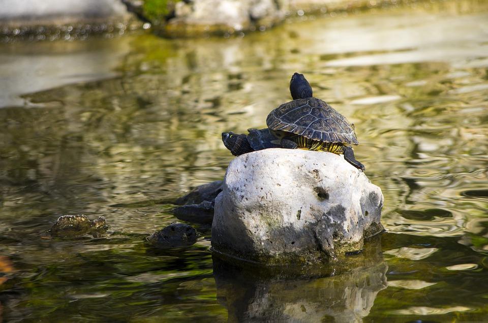 Turtle, Water, Pond, Nature, Lake, Turtles