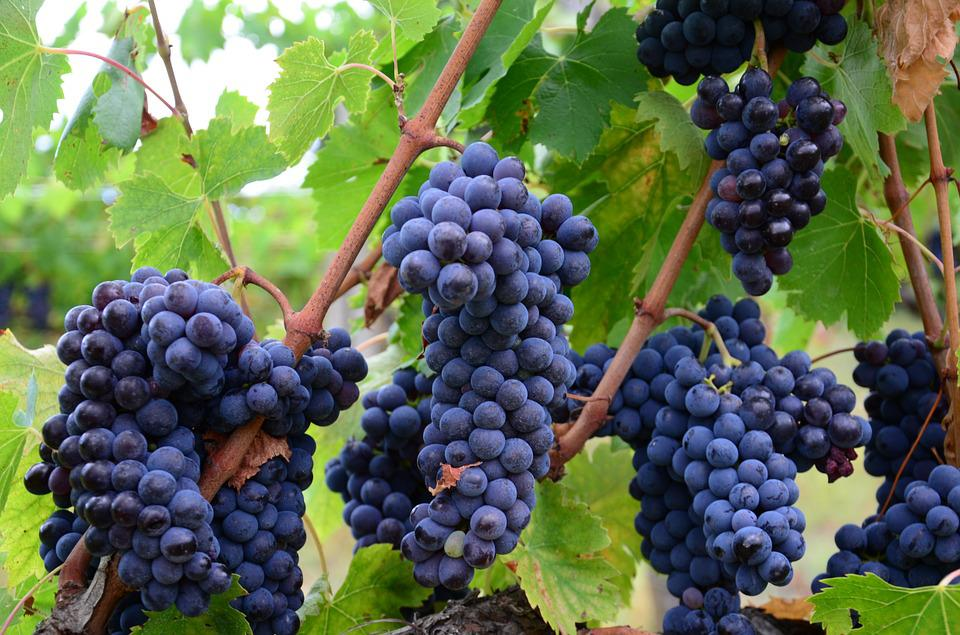Italy, Vineyard Grapes, Wine, Tuscany, Agriculture