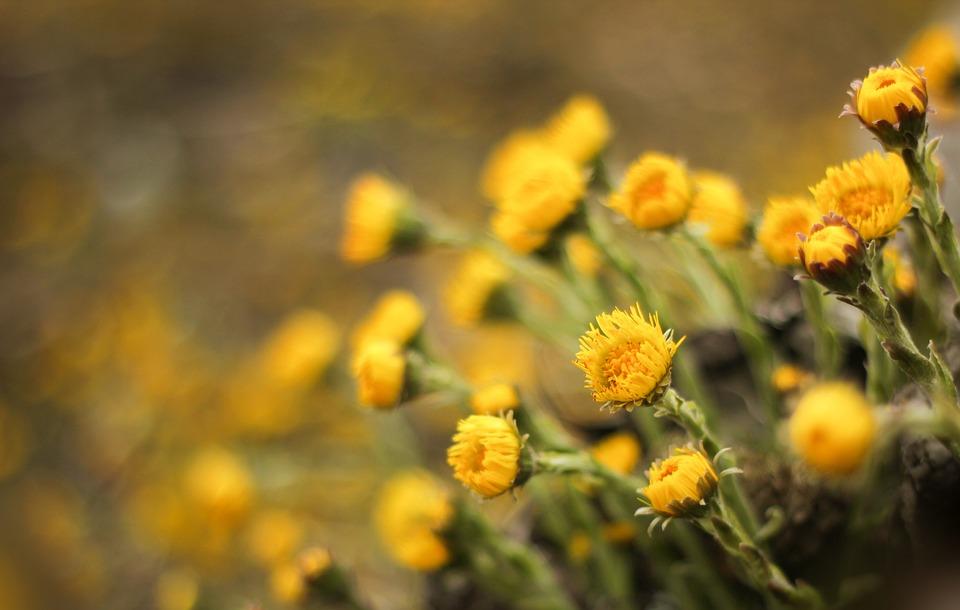 Tussilago Farfara, Flowers, Medicinal Plant, Tussilago