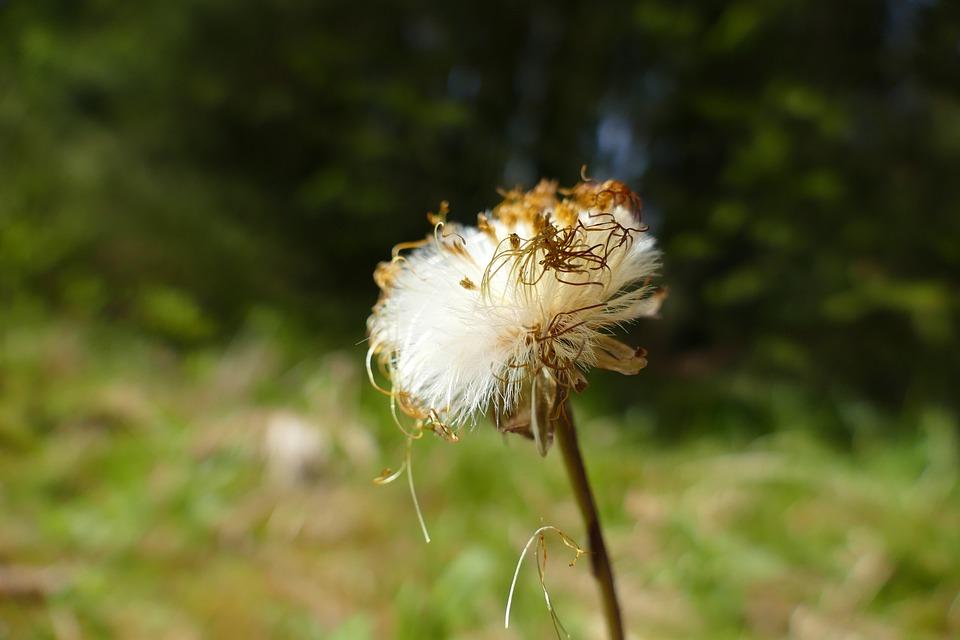 Tussilago Farfara, Wild Flower, Seeds, Herbs