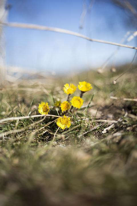 Flowers, Tussilago, Spring, Nature, Yellow Flowers