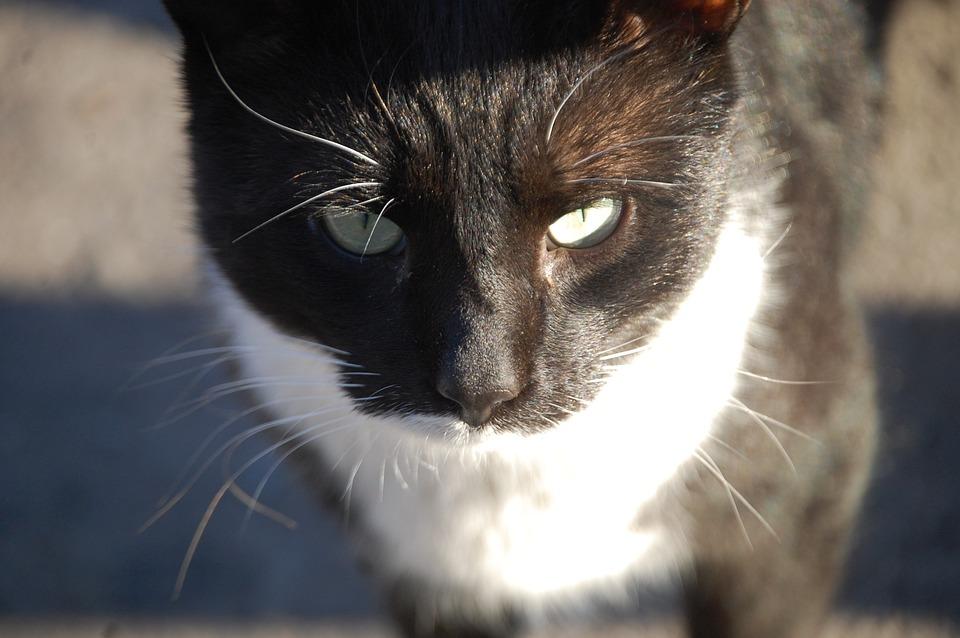 Cat, Pet, Animal, Cat's Eyes, Feline, Tuxedo Cat, Kitty