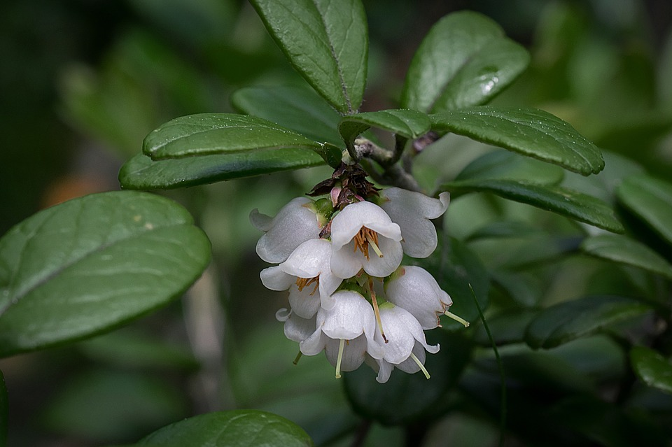 Cowberry, Inflorescence, Twig, White