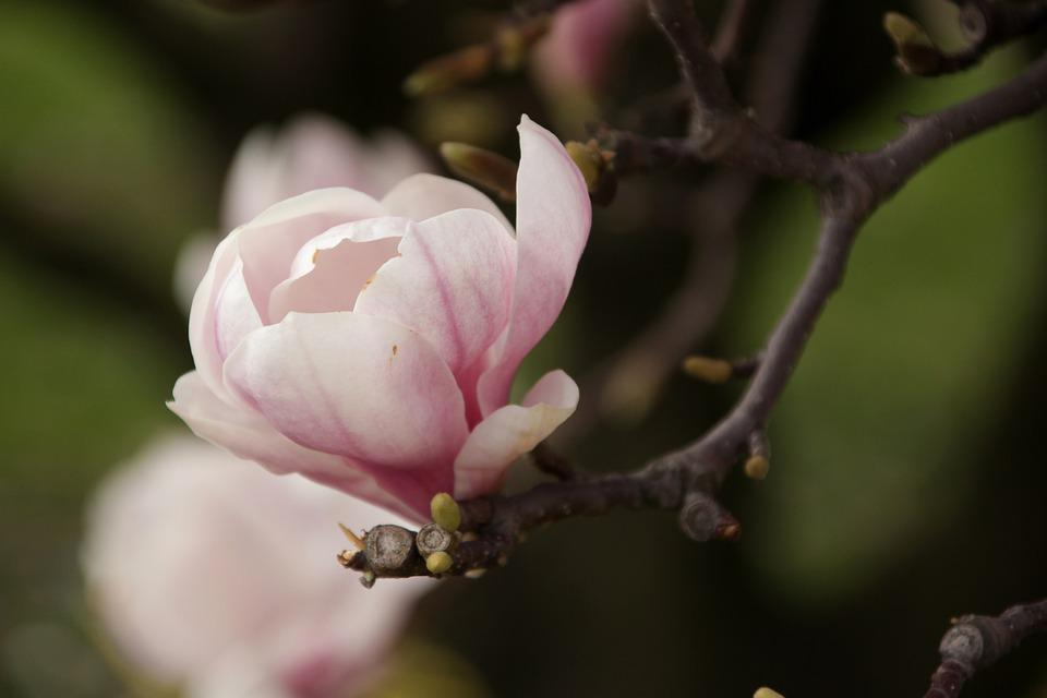 Magnolias, Spring, Flowers, Nature, Twigs, Blooms
