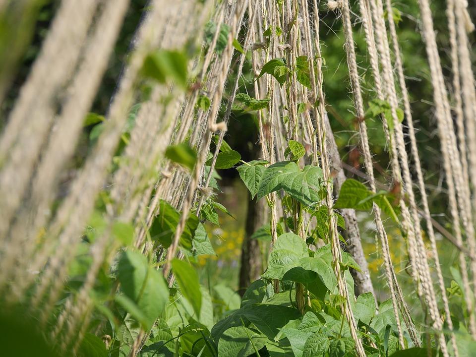 Climbing Plant, Beans, Twine, Garden, String, Plant