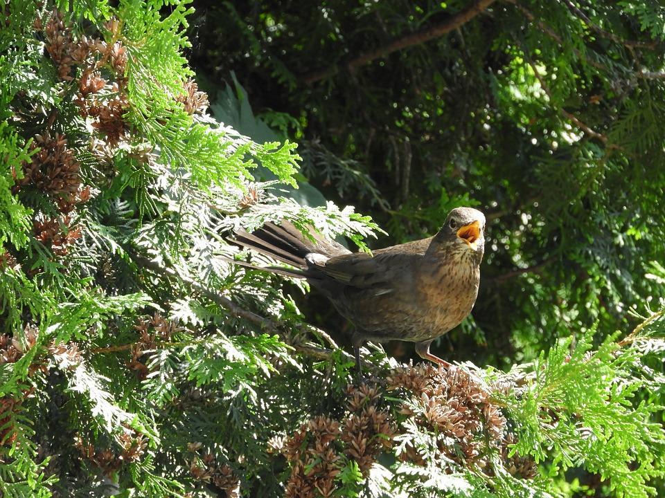 Bird, Bill, Twitter, Birds, Poultry, Blackbird