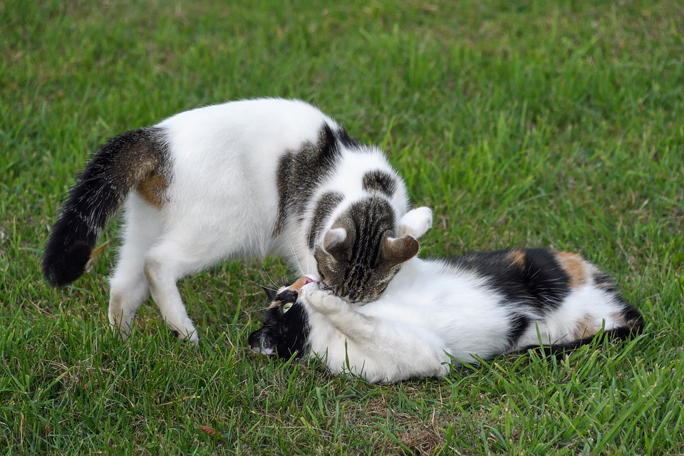 Cat, Two Cats, Play, Grass