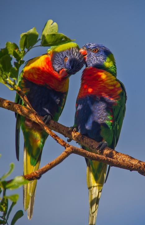 Rainbow Lorikeets, Parrots, Two, Colourful, Birds